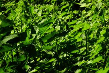 Народные средства лечения печени: обзор самых эффективных