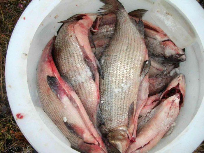 потребление в пищу сырой рыбы