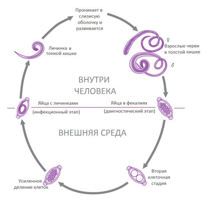 жизненный цикл нематод