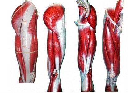 Мышцы на ногах