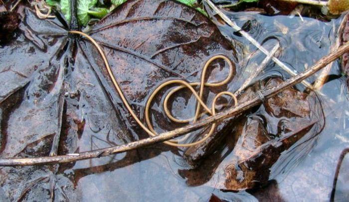червь начинает обитать в воде