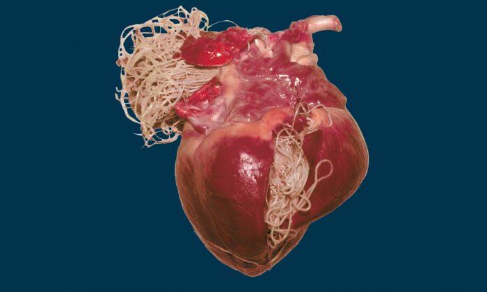 сердечные черви